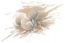 La vesse-de-loup perlée pousse partout en forêt. Sa tête en forme de poire se mange jeune. A maturité, elle se dégonfle en libérant une poussière de spores. / © Laurent Willenegger