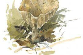 Le lactaire de l'épicéa doit son nom au lien indispensable que ce champignon entretient sous terre avec son arbre. / © Laurent Willenegger