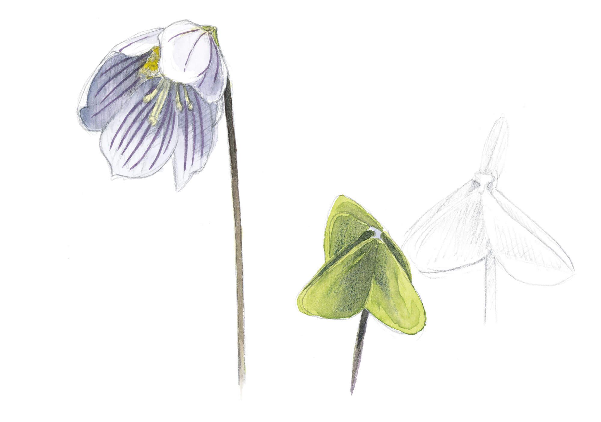 Balade d'avril avec les feuilles et les fleurs - La Salamandre dessin oxalis fleur