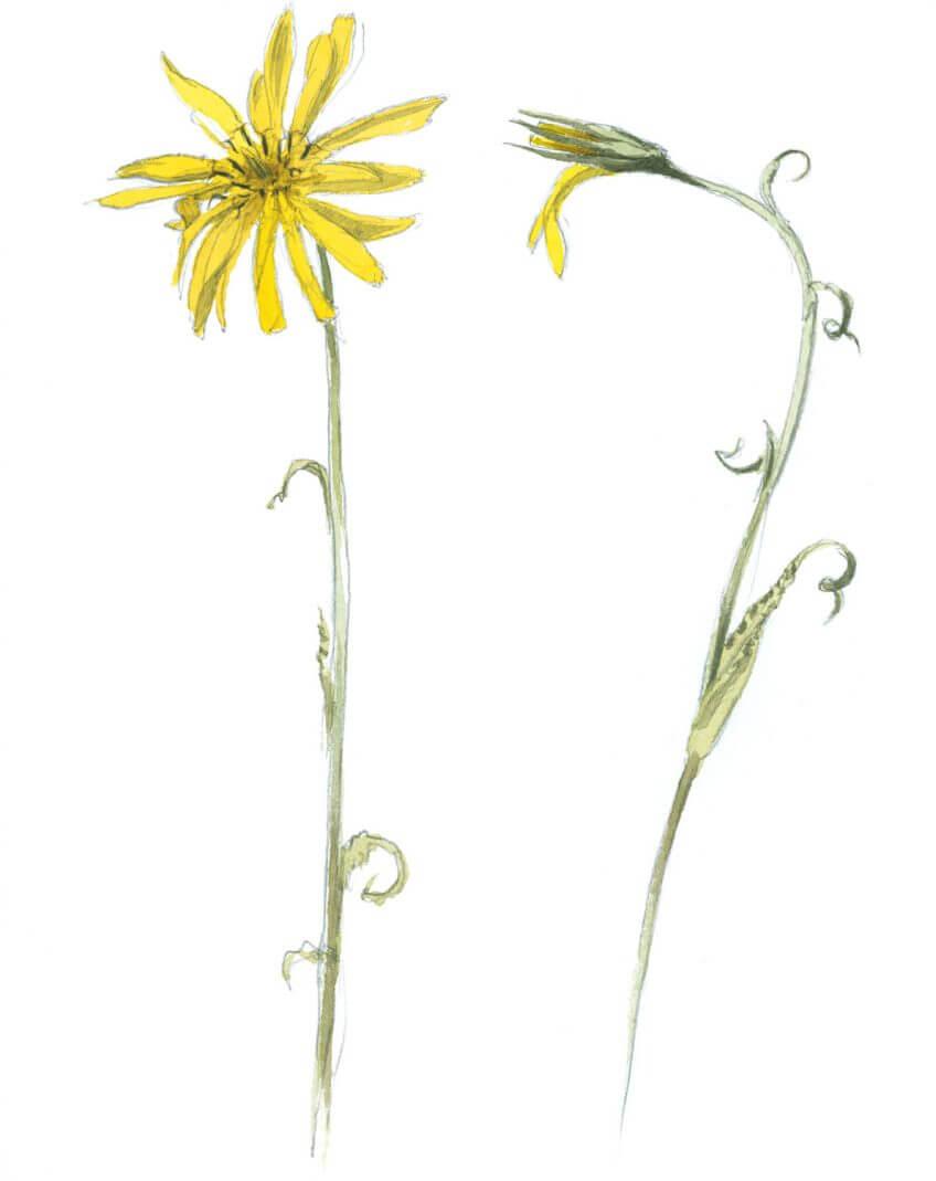 Balade de mai, ivres de vie - La Salamandre dessin salsifis des prés fleur