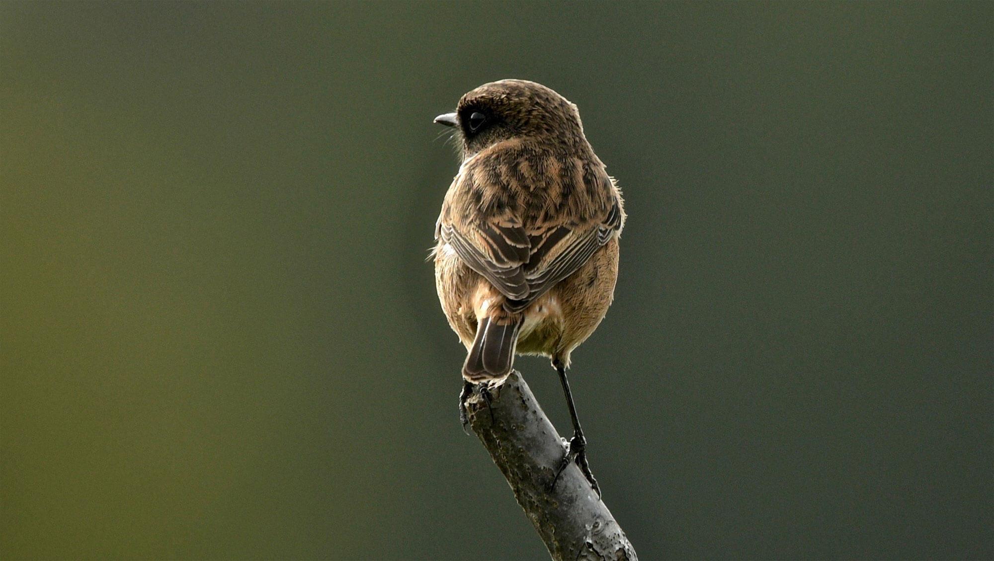 Balade de mars, coup de froid - La Salamandre traquet patre femelle oiseau