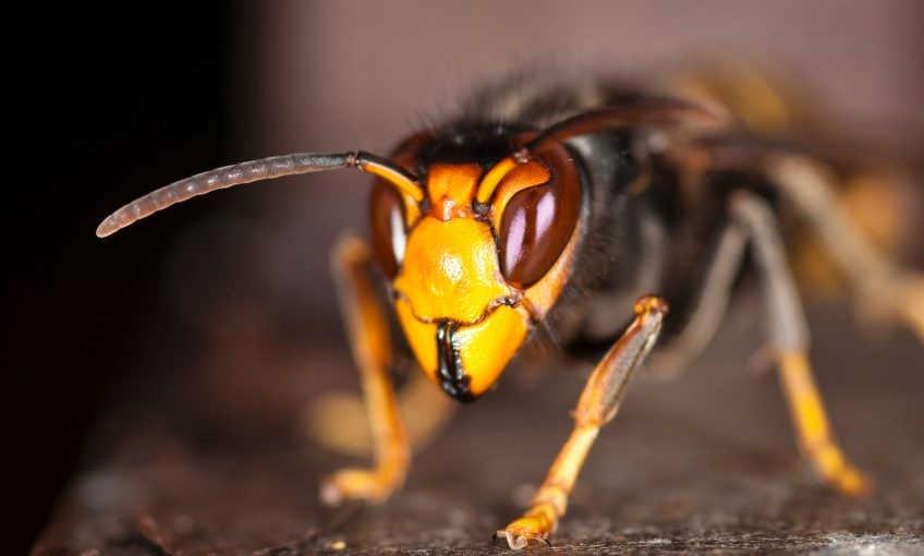 eurofrelon frelon asiatique insecte