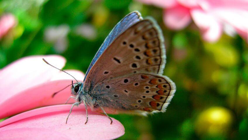 Les papillons du Jura dans un livre - La Salamandre papillon argus