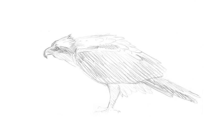 Septième étape d'un voyage en suivant les oiseaux migrateurs - La Salamandre dessin balbuzard