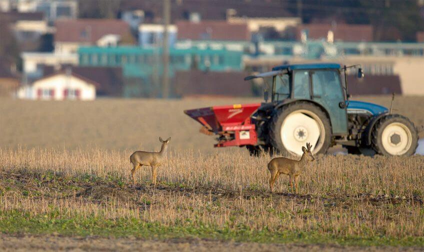 Quand le chevreuil passe du bois au blé - La Salamandre tracteur champ