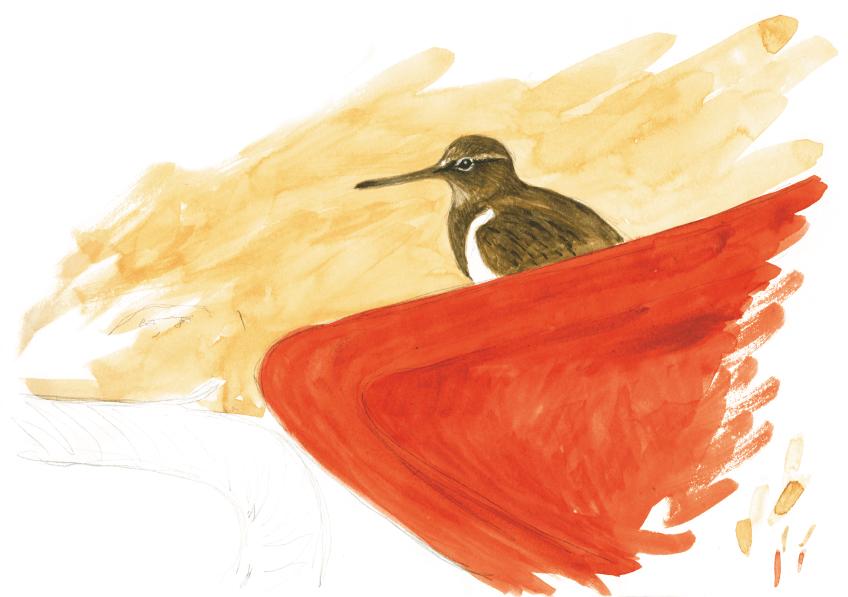 Troisième étape d'un voyage en suivant les oiseaux migrateurs - La Salamandre dessin chevalier
