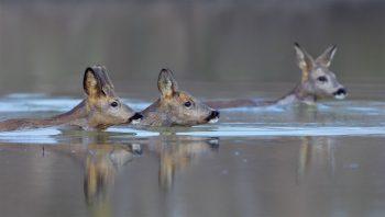 Le chevreuil et l'homme, une alliance tourmentée - La Salamandre nage harde