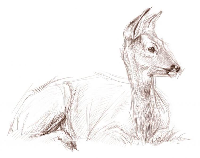 Le chevreuil, un digesteur magique - La Salamandre dessin