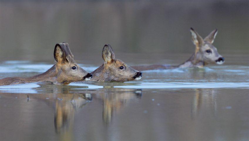 Le chevreuil et l'homme, une alliance tourmentée - La Salamandre harde nage