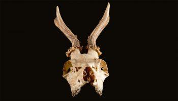 Crâne et bois de chevreuil
