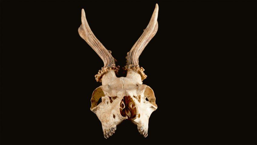 Chevreuil et chasse, le pour et le contre - La Salamandre tête bois crâne