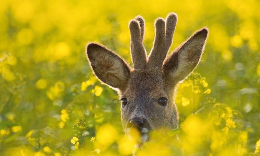 Quand le chevreuil passe du bois au blé - La Salamandre fleur jaune velour