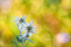 Edelweiss Alpes carniques, Italie, le 3 août2015 à 07h44. / © Marco Zamò