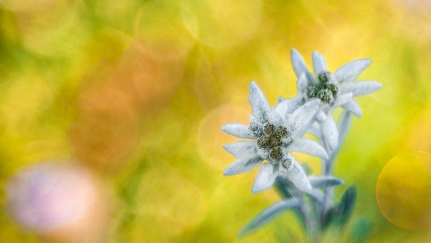 La paix des étoiles, photos nature - La Salamandre edelweiss