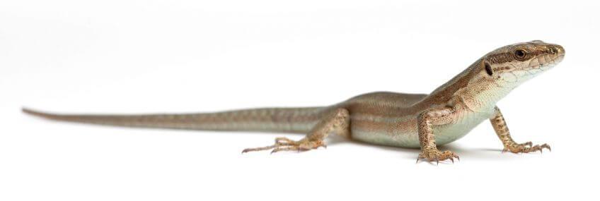 Construire une nurserie à lézards - La Salamandre