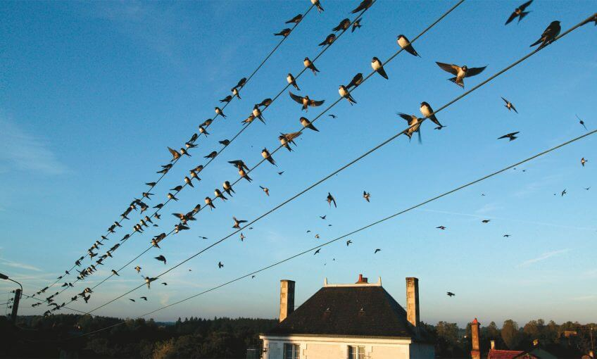 migration hirondelle oiseau voyage sud