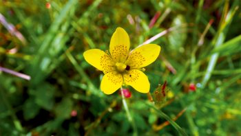 La saxifrage dorée, une des plantes les plus rares de Suisse.