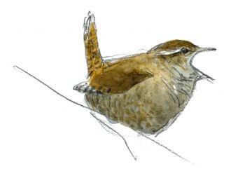 Curiosités et exploits du troglodyte - La Salamandre dessin