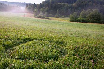 Chaleurs d'été du chevreuil - La Salamandre rond de sorcière herbe