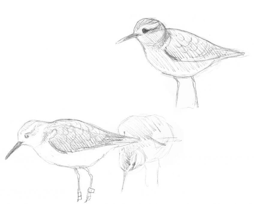 Cinquième étape d'un voyage en suivant les oiseaux migrateurs - La Salamandre dessin limicole