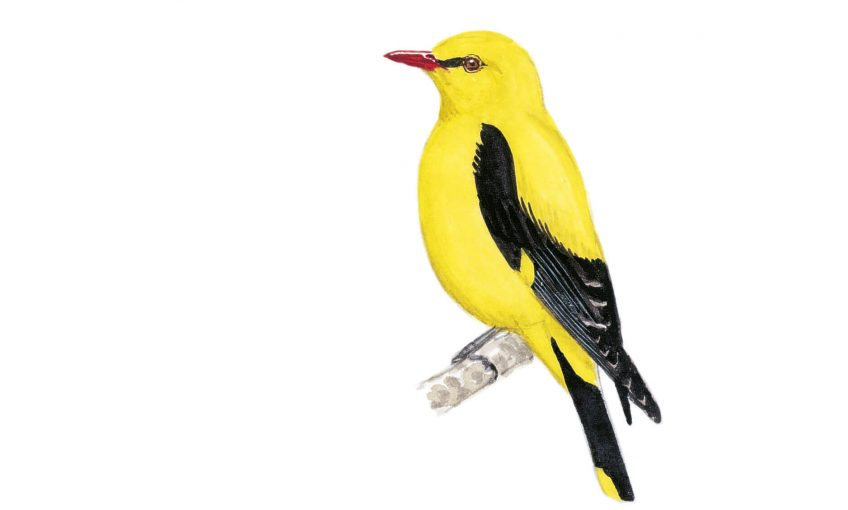 Le loriot, une flûte ensoleillée - La Salamandre dessin oiseau jaune