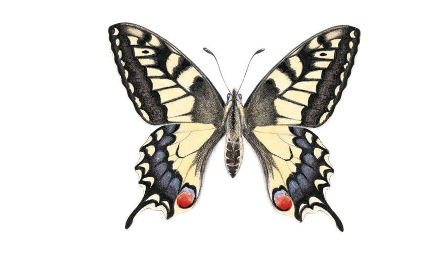 Le machaon, un papillon à la queue d'hirondelle - La Salamandre dessin papillon