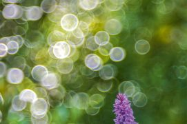Orchis de Fuchs / © Marco Zamò
