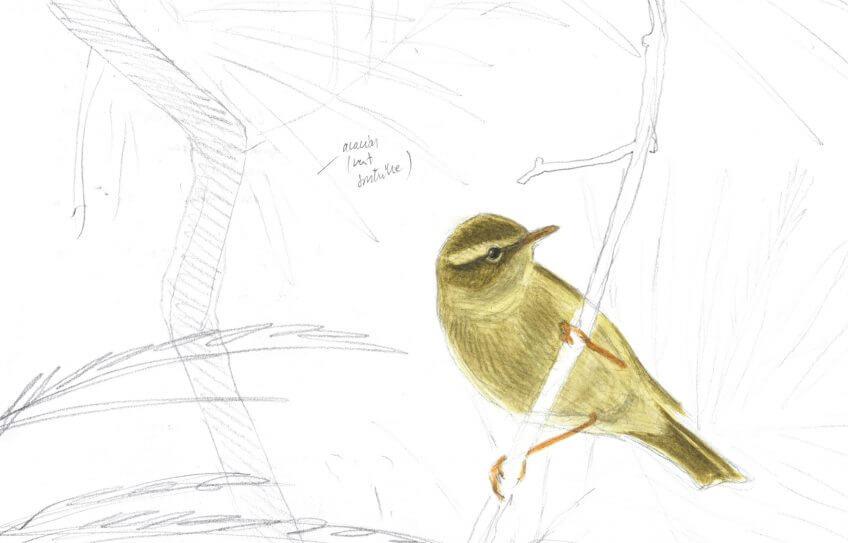 Sixième étape d'un voyage en suivant les oiseaux migrateurs - La Salamandre dessin pouillot
