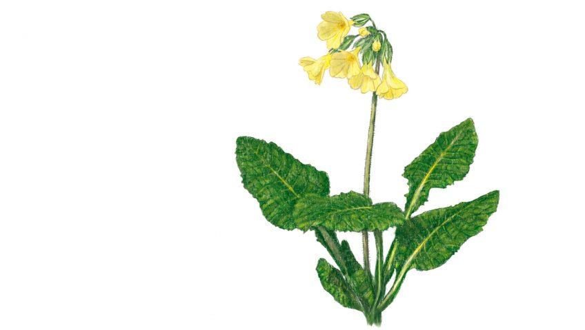 La primevère, une belle printanière - La Salamandre dessin fleur