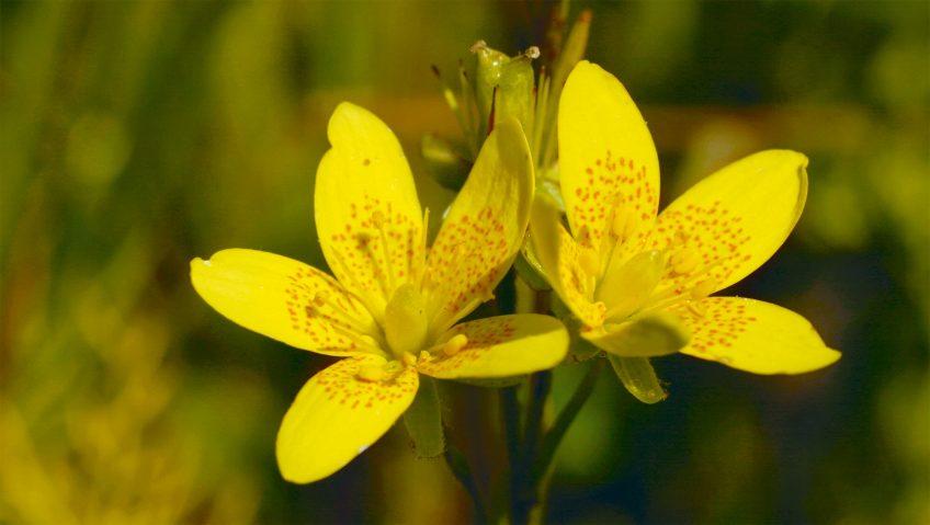 Dix mille saxifrages oeil-de-bouc pour les tourbières - La Salamandre jaune fleur