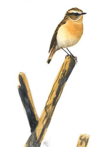 Troisième étape d'un voyage en suivant les oiseaux migrateurs - La Salamandre dessin tarier