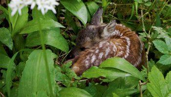Un faon endormi, caché parmi les hautes herbes.