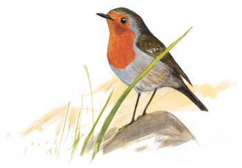 Quatrième étape d'un voyage en suivant les oiseaux migrateurs - La Salamandre dessin rougegorge