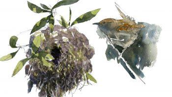Un troglodyte mignon, minuscule oiseau qui construit son nid dans les endroits les plus divers.
