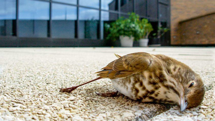 Pourquoi les fenêtres sont-elles une menace pour les oiseaux ? - La Salamandre oiseau mort