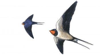 Première étape d'un voyage en suivant les oiseaux migrateurs - La Salamandre dessin hirondelle