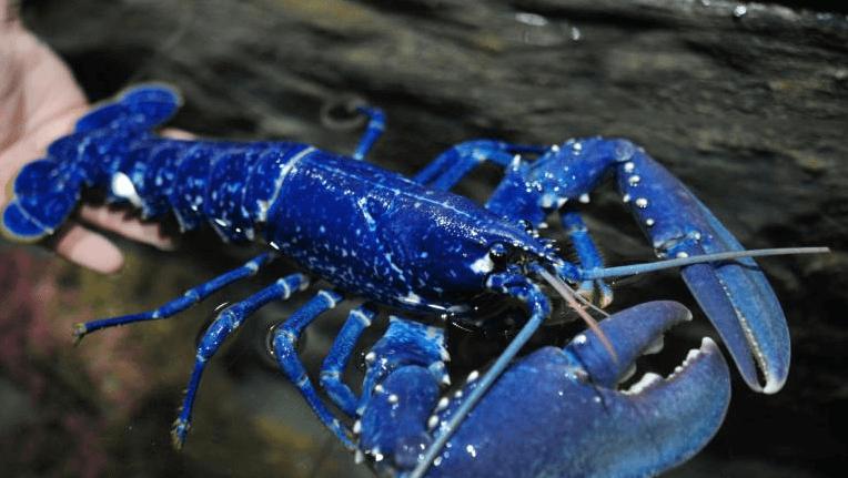 Un homard bleu roi, une rareté en sécurité - La Salamandre