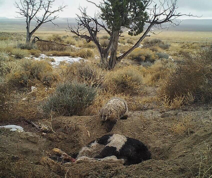 blaireau amérique carcasse vidéo fossoyeur