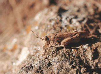 criquet A l'abri des cabanes de pierres - La Salamandre sauterelle