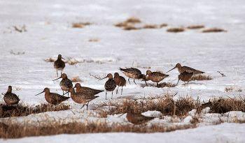Elevages en grippe ... aviaire - La Salamandre oiseau barge
