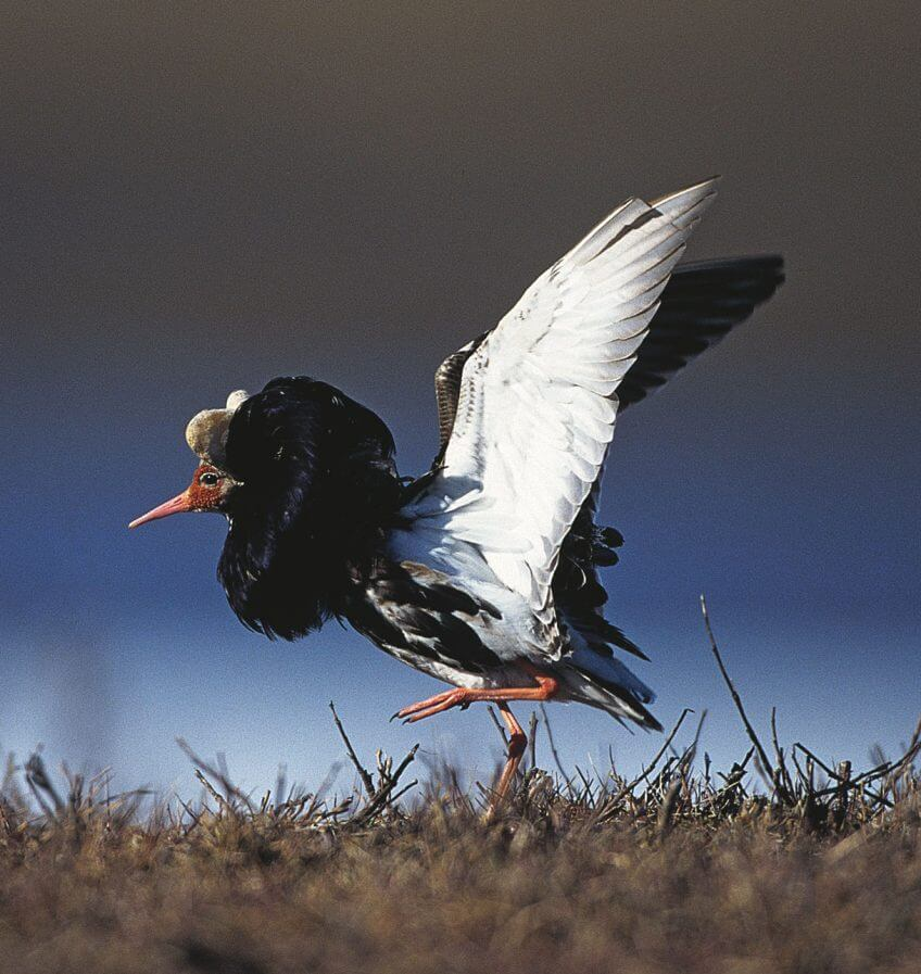 Elevages en grippe ... aviaire - La Salamandre oiseau combattant limicole plumage nuptial