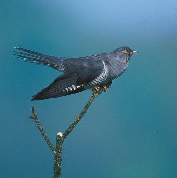 Migration, mode d'emploi - La Salamandre coucou oiseau