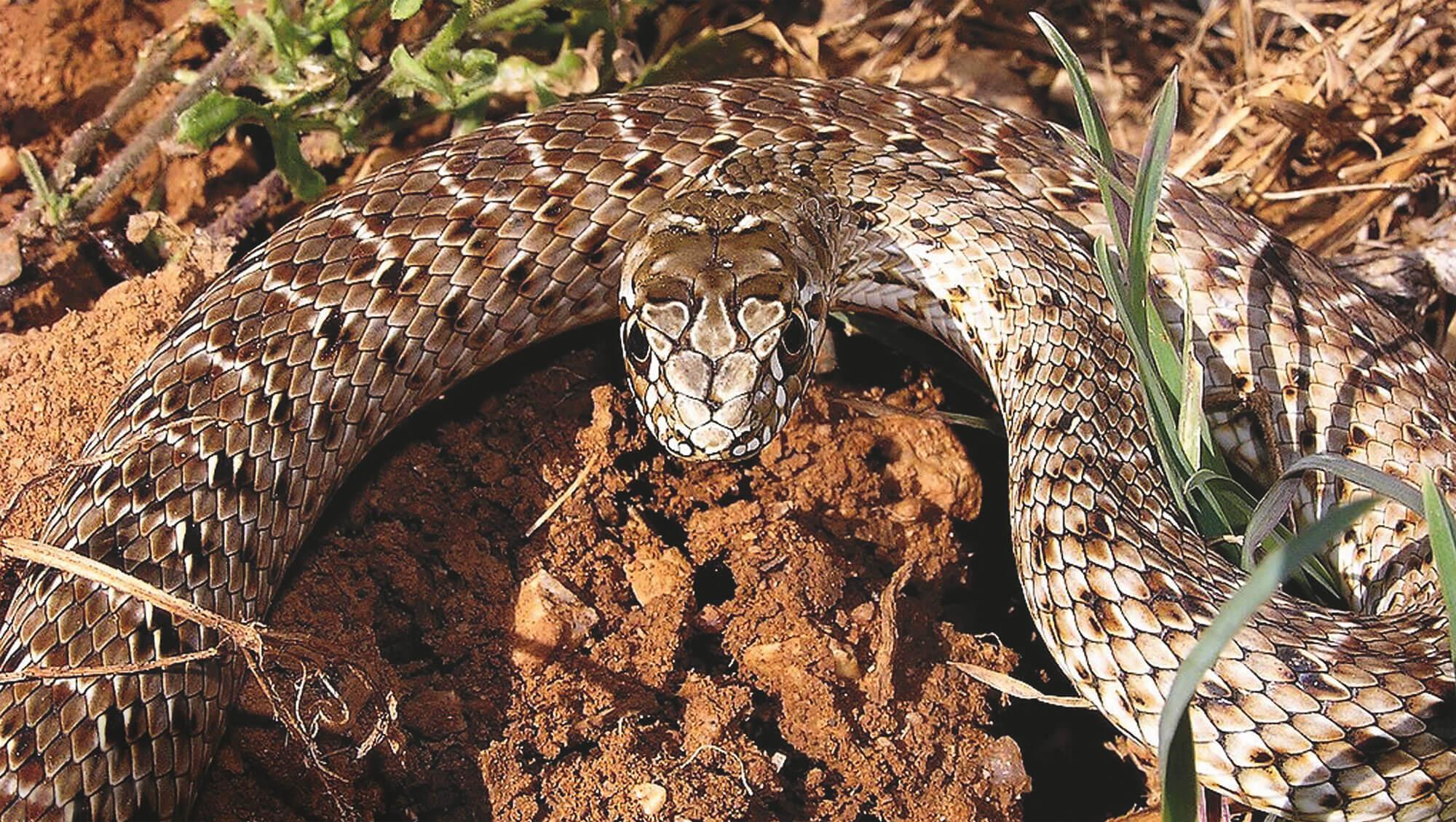 La belle couleuvre de Montpellier - La Salamandre