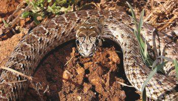 Couleuvre de Montpellier femelle