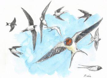 dessin-#10-hirondelles-martinets