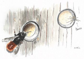 dessin-#11-osmie-thomise