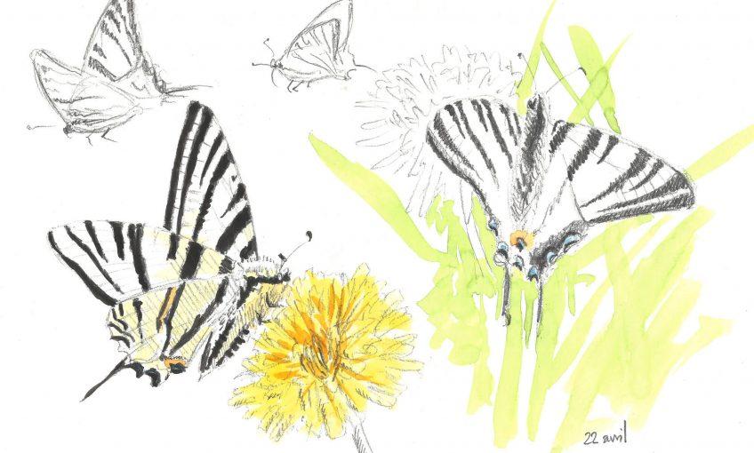 Quand passe le papillon flambé - La Salamandre