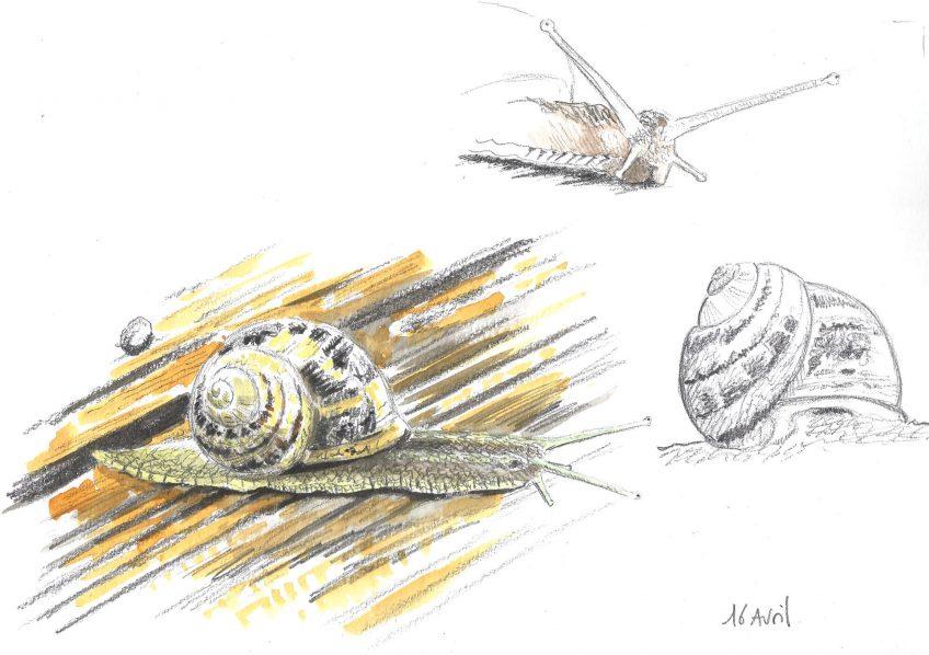 Escargot architecte pas pressé - La Salamandre