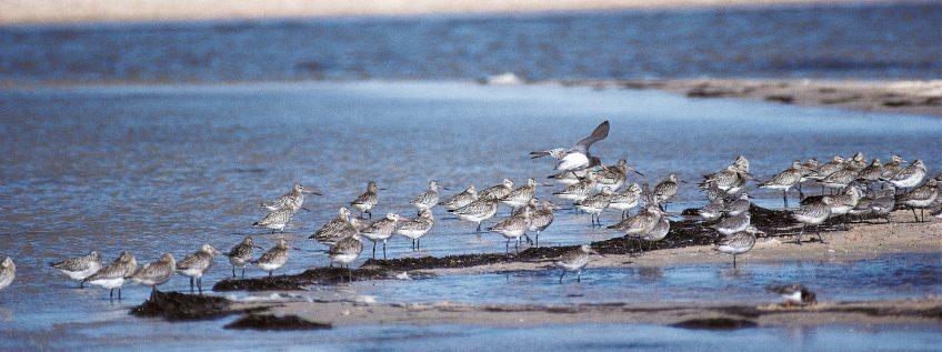 Elevages en grippe ... aviaire - La Salamandre oiseau barge limicole