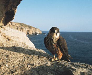 Migration, mode d'emploi - La Salamandre oiseau faucon